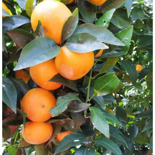 沃柑行情报价表_沃柑怎样挑选优质的果品