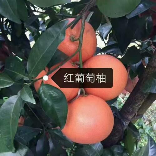 柚子苗多少钱?柚子苗什么品种好?