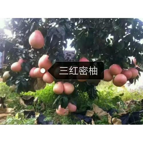 红葡萄柚,黄葡萄柚,三红密柚图片