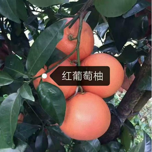 泰国青柚图片 三红密柚,泰国青皮红柚苗
