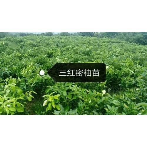 三红蜜柚苗图片 第二年蜜柚苗怎么种植(技术)