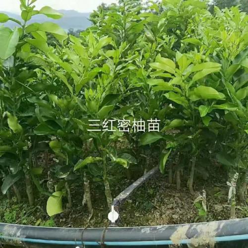 大三红蜜柚几年挂果,亩产多少斤,正宗三红蜜柚苗多少钱一株