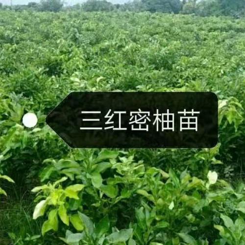 哪里可以买到三红蜜柚苗,哪里可以买到正宗三红蜜柚苗