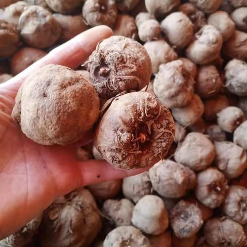 文山魔芋种子批发市场 云南魔芋价格多少一斤?