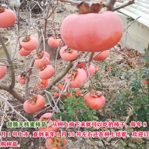 新品种甜脆柿子苗、正宗甜脆柿子苗多少钱一棵