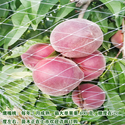 云南新品种果树苗 9月成熟有哪些?