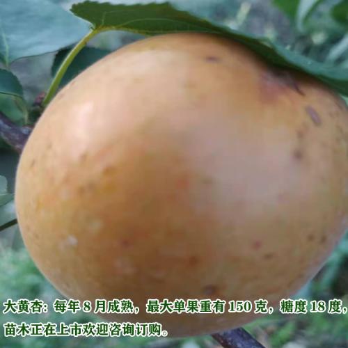 新品种桃苗成熟上市时间表