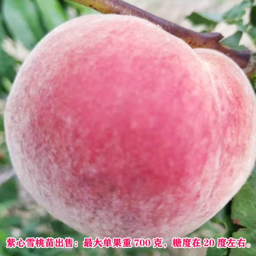 太阳红桃什么时候成熟  基地树苗供应销售