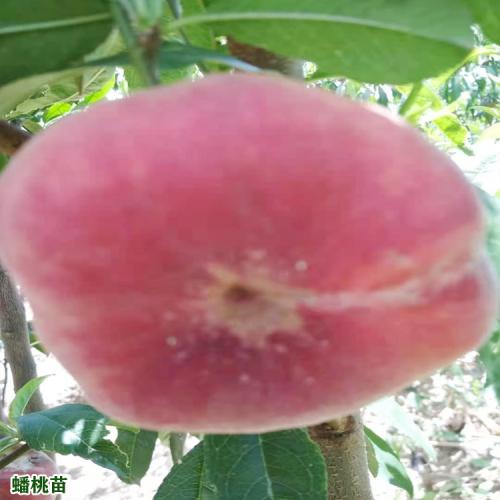 2020年蟠桃多少钱一斤?蟠桃种植前景