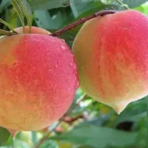 怒江鹰嘴桃和普通桃子区别是啥_鹰嘴桃原产地在哪里