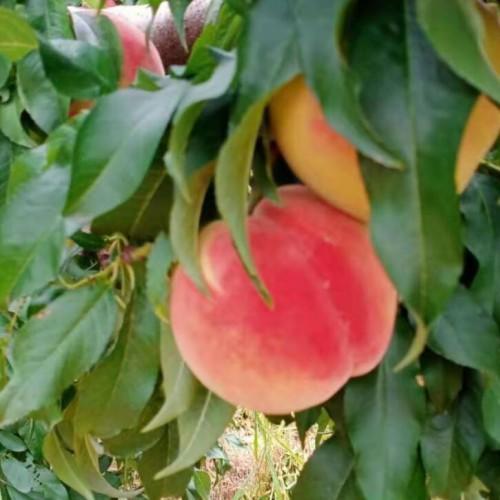 鲁甸太阳红桃嫁接苗批发_太阳红桃出售信息