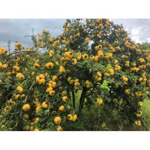 刺梨果树&贵农5号刺梨苗价格&刺梨苗木的价格