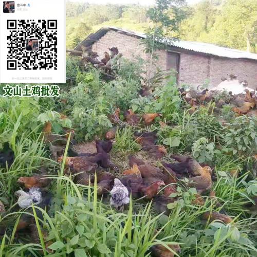 近期土鸡云南昆明市多少钱一斤 土鸡选购技巧与方法