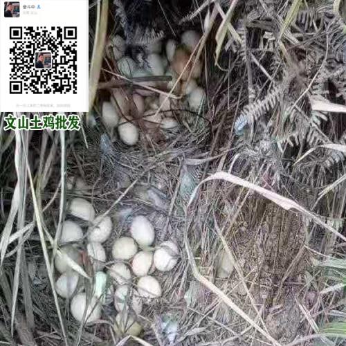 云南生态土鸡养殖场@生态土鸡出售厂家价格*生态土鸡养殖户