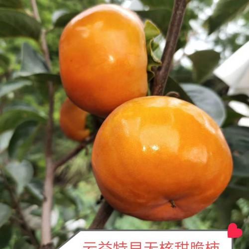 云益特早(日本)甜柿新品种 云南甜柿树苗图片 日本甜脆柿子树苗