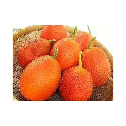 木鳖果施肥和培育技术 云南保山木鳖果图片