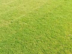 昆明周边剪古银草坪,马尼拉草坪(安宁)