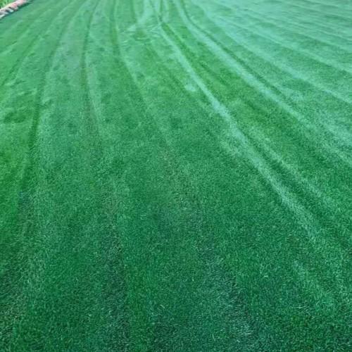 四季青云南昆明安宁 混播草坪,马蹄筋草坪,剪古银草坪多少一平