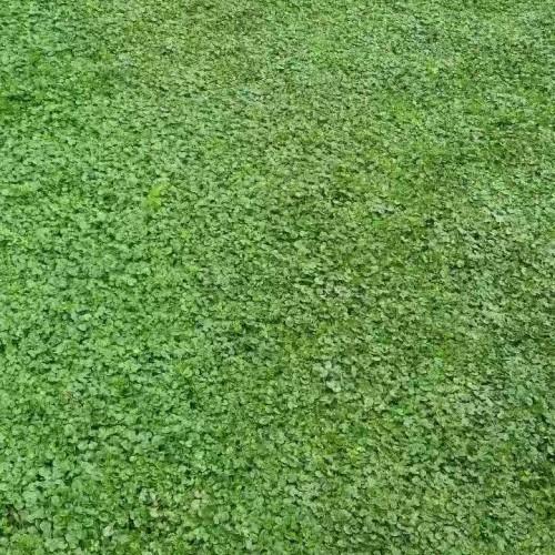 草坪种类有哪些_草坪种植需要哪些条件?
