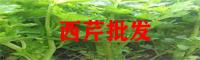 西芹种植厂家_西芹栽培技术_西芹管理方法