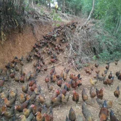 土鸡品种 云南文山富宁柴鸡