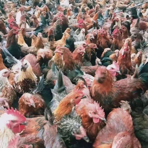 鸡舍怎么搭建  文山土鸡 文山哪里有鸡出售(森百态)