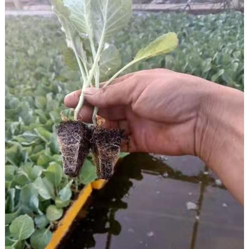 秋绿60苗 批发蔬菜种小苗 云南蔬菜的育苗厂