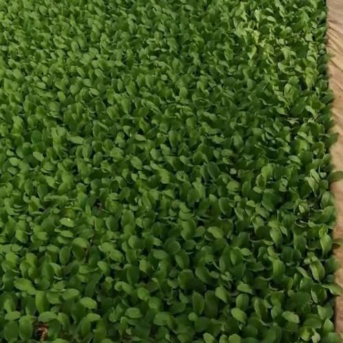 昆明西芹苗产地在哪里_西芹苗多少钱一斤?