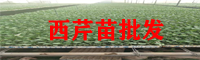 昭通西芹苗出售基地_西芹苗种植培育厂家