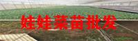 楚雄娃娃菜苗繁育技术_娃娃菜苗种植厂家