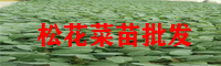 大理松花菜苗批发户_松花菜苗哪里有卖?