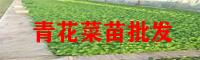 临沧青花菜苗批发基地_青花菜苗多少钱一株?