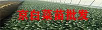 玉溪京白菜苗销售商_京白菜苗批发点
