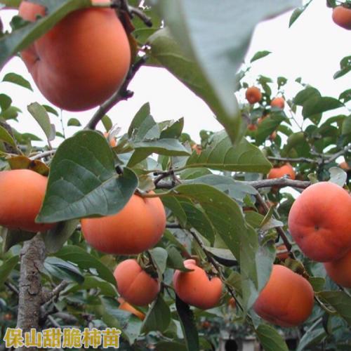 脆柿苗 云南保山市脆柿苗销售价格多少钱一株?