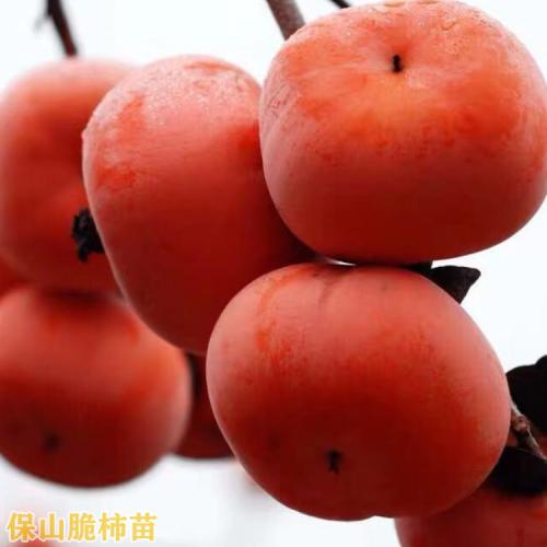 柿子树苗  甜柿子苗云南曲靖市麒麟区柿子苗