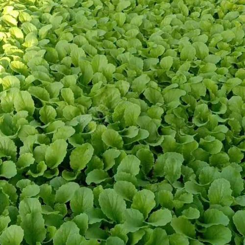 青花.白花.松花.娃娃菜育苗方法-好又来蔬菜育苗基地