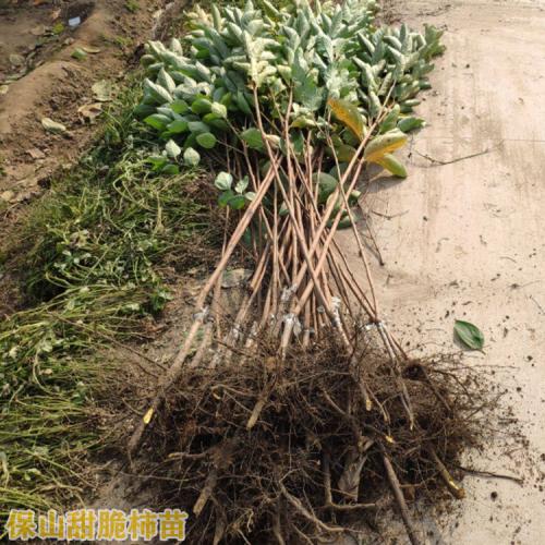 脆柿子苗几月栽培苗 脆柿种子怎么培养脆柿子种植技术