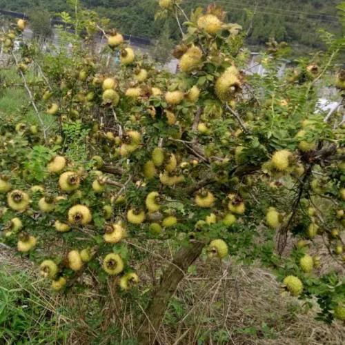 刺梨树苗价格多少钱一棵?刺梨苗山东泰安市报价中心