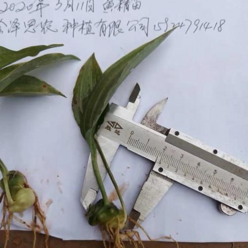 黄精种苗陆续上市 图片均为现在的苗子