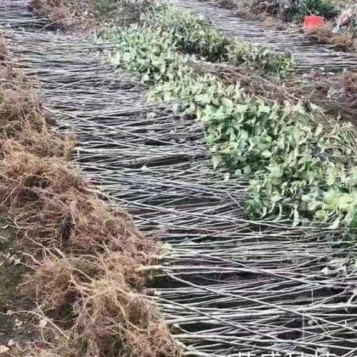 3000株苹果苗,品种红露,华硕,烟富8图片