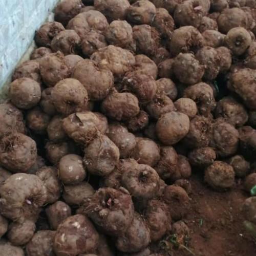 种植魔芋 看魔芋订购种子