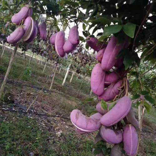 出售八月瓜、九月黄、布福娜种苗,根系发达,种植3年挂果