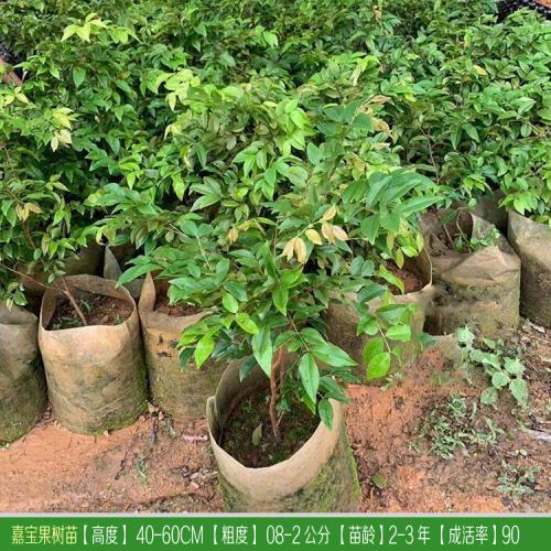 丽江(云南)种植嘉宝果树  丽江有人种嘉宝果吗?