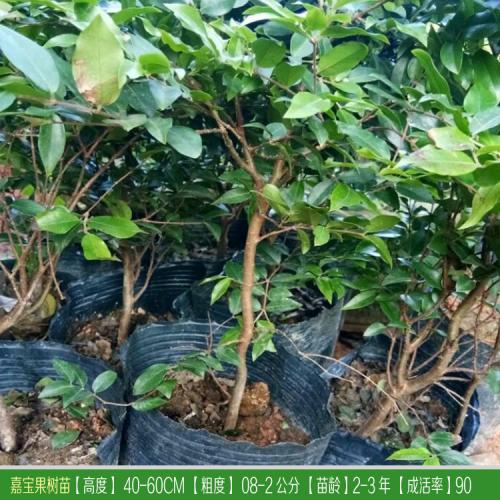 云南、贵州、江苏、浙江、重庆嘉宝果(树葡萄)价格表
