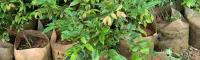 嘉宝果树 繁殖方法 几年挂果