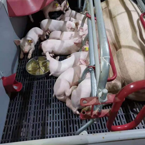 二元母猪,楚雄附近小猪|保山母猪厂(场)
