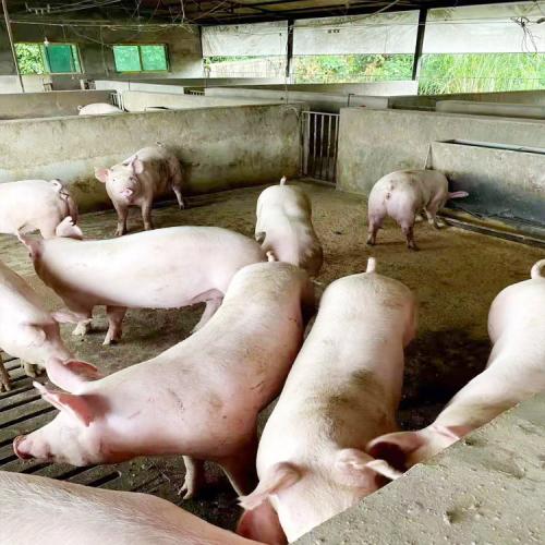 玉溪市种猪行情_玉溪市种猪养殖场多少一只/斤_玉溪种猪厂