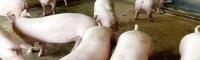 大理种猪行情&大理种猪养殖场多少一只/斤_大理种猪厂