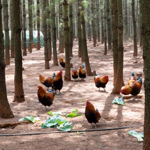 林下土鸡养殖技术 土鸡品种有哪些吗