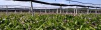 云南小白芨多少钱一斤?2021年种植前景如何?